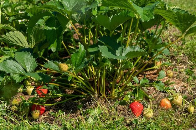 Zbiór świeżych dojrzałych dużych czerwonych owoców truskawek w ogrodzie