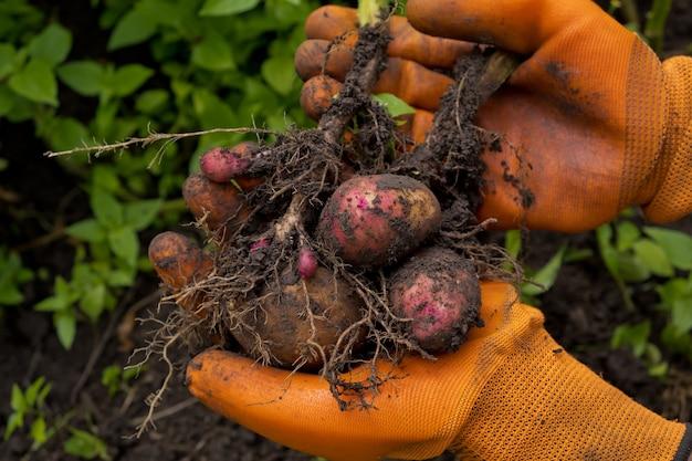 Zbiór świeżych surowych ziemniaków.