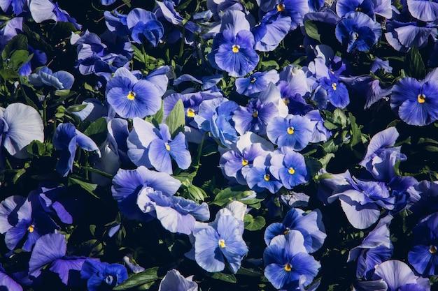 Zbiór trójkolorowych kwiatów fiołka niebieskiego z liśćmi, zbliżenie.