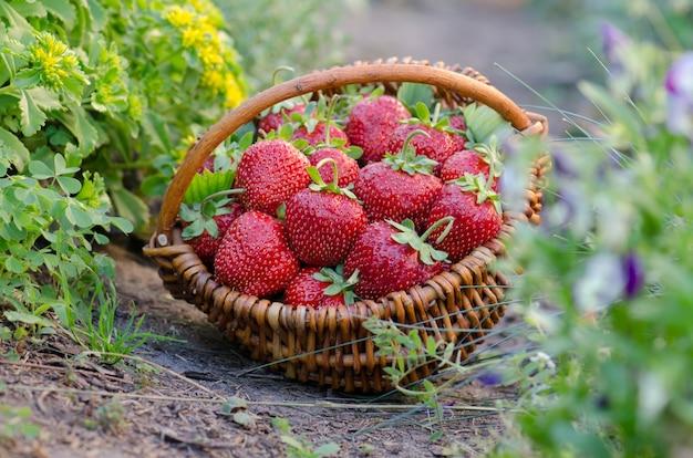 Zbiór truskawek w koszu. wiklinowy kosz z truskawkami. świeżo zerwane truskawki w koszu w ekologicznym gospodarstwie ekologicznym.