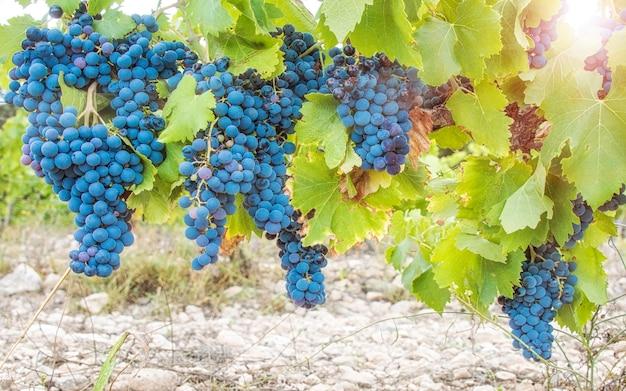 Zbiór winogron. bujne klastry winogron wiszące na winorośli.