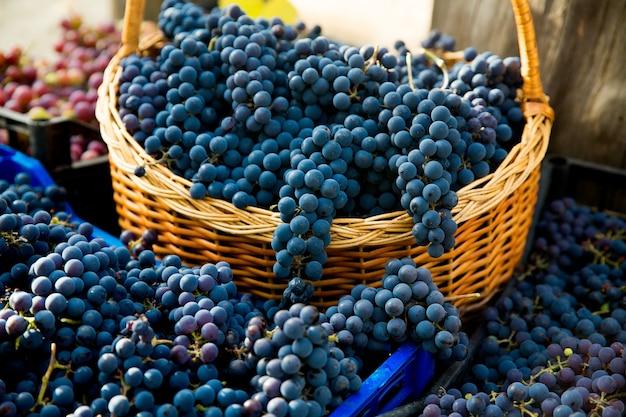 Zbiór winogron w winnicy zbliżenie na czerwone i czarne kiście winogron pinot noir