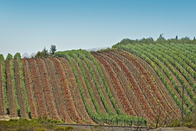 Zbiór winogron - winnice
