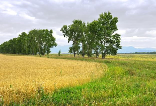 Zbiór zbóż wśród zielonej trawy, korony wysokich drzew na tle gór pod zachmurzonym niebem. syberia, rosja