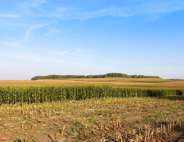 Zbiór zielonych upraw kukurydzy na kiszonkę i pokarm dla krów, letni krajobraz