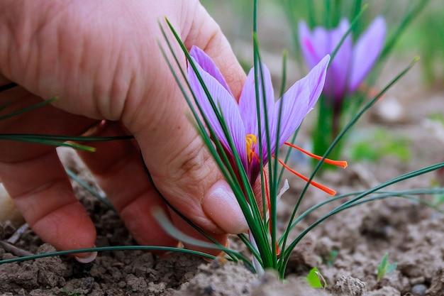 Zbiory kwiatów szafranu na polu.