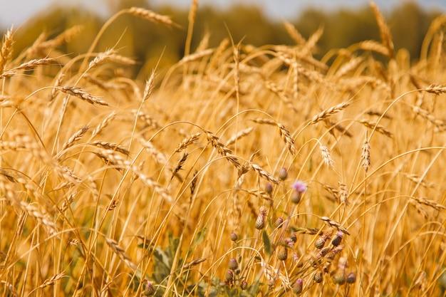 Zbiory: na polu rośnie dojrzała pszenica. zbliżenie złote ziarno