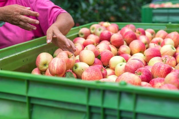 Zbiory owoców jabłka w sadzie