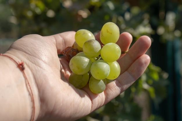 Zbiory winogron białego wina w ogrodzie w dłoni