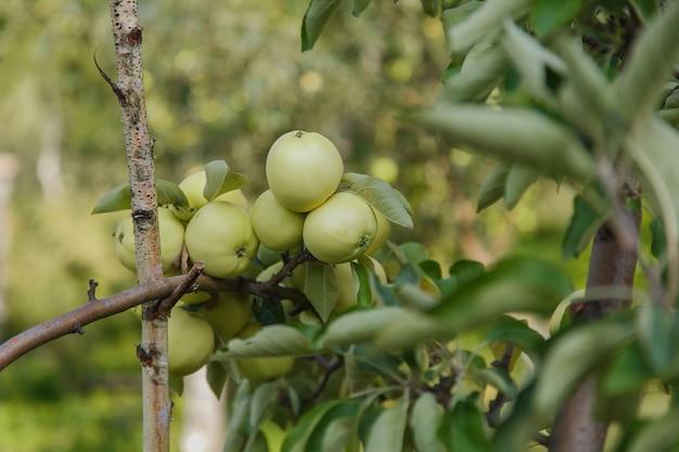 Zbiory: zielone jabłka na drzewie w ogrodzie. produkty są gotowe do eksportu. import towarów sezonowych.