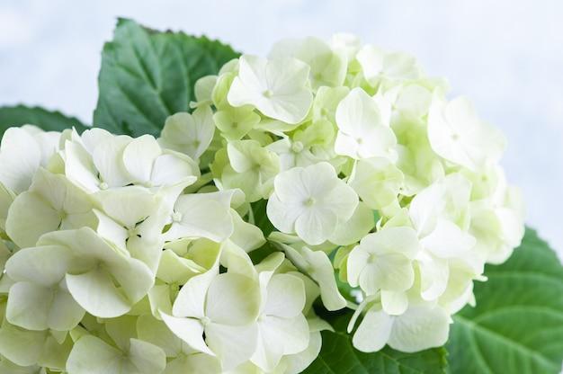 Zbliżamy kwiaty hortensji
