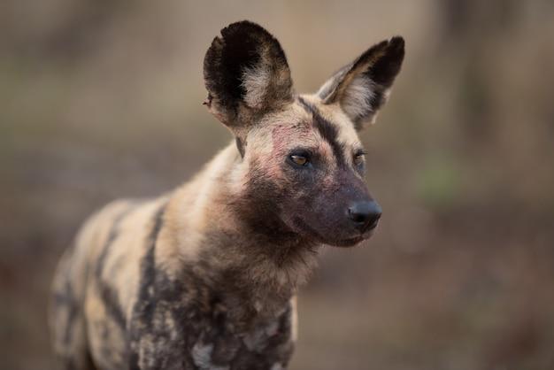Zbliżenie afrykańskiego dzikiego psa z niewyraźnym tłem
