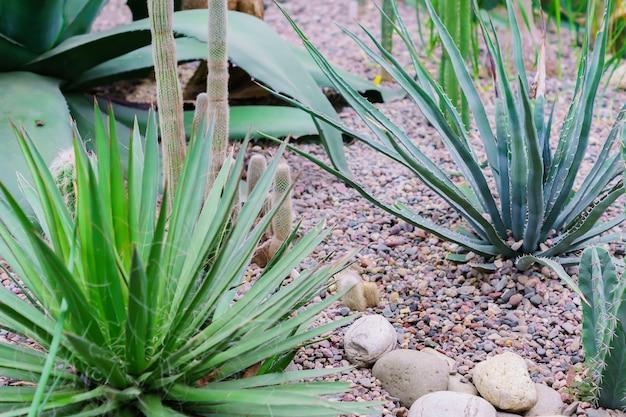 Zbliżenie agawa kaktusy wśród kamieni, natury tło