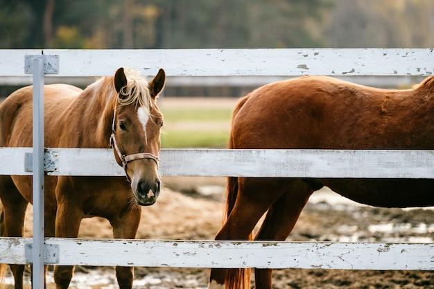 Zbliżenie artystyczny trybowy śmieszny portret koń przy paśnikiem plenerowym przy naturą.