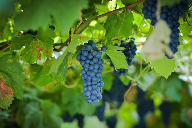 Zbliżenie bacche scure dojrzałe dojrzałe czerwone winogrona gotowe do zbioru włochy trentino
