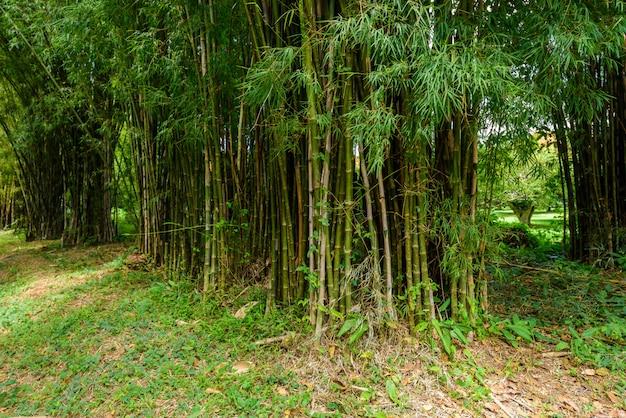 Zbliżenie bambusowy drzewo