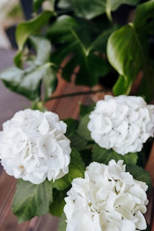 Zbliżenie biała hortensja kwitnie