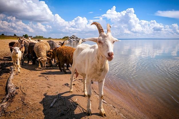 Zbliżenie biała kózka patrzy na kamerę w tle stado owiec i kóz