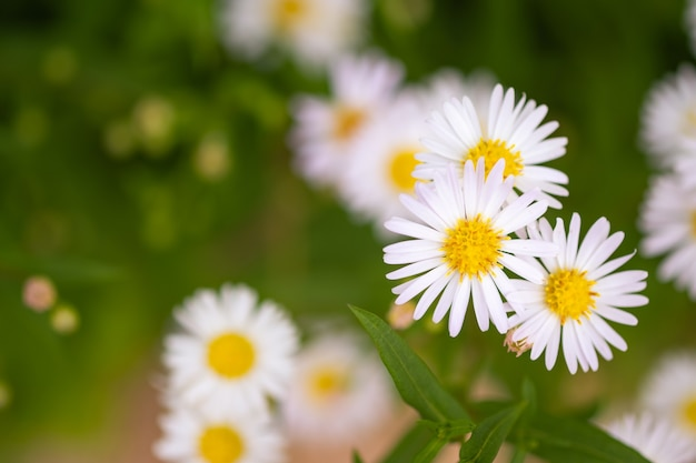 Zbliżenie białe stokrotki to pachnące kwiaty na pastwisku