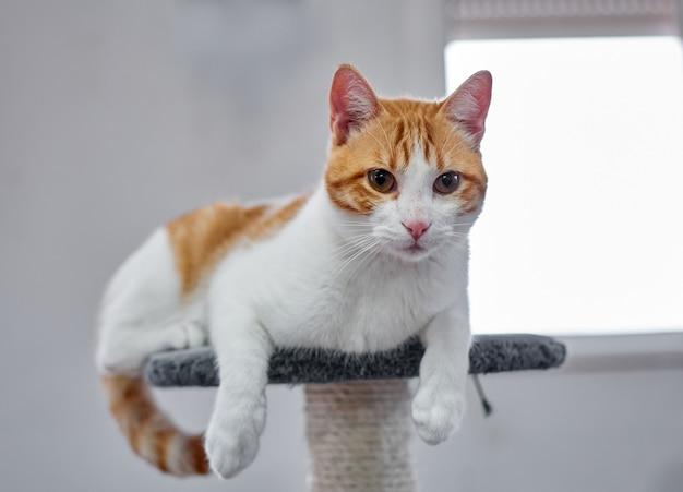 Zbliżenie białego i rudego puszystego kota relaksującego się na kocim stanowisku