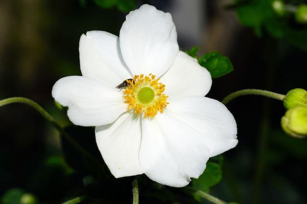 Zbliżenie białego japońskiego anemonu