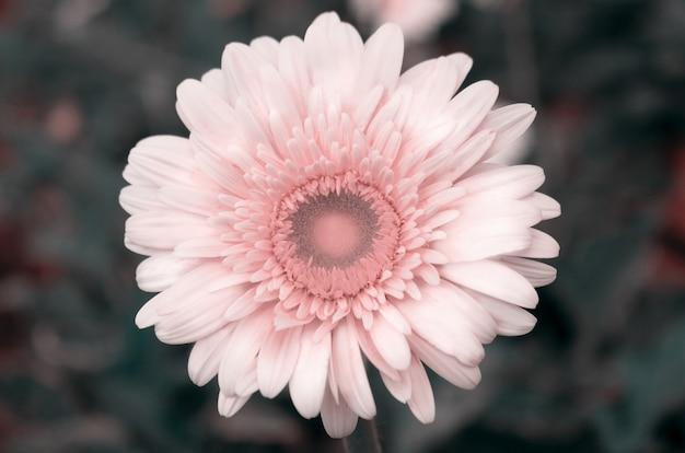 Zbliżenie białego kwiatu gerbery na ciemnym tle