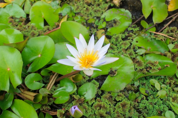Zbliżenie białego kwiatu lotosu w rozkwicie