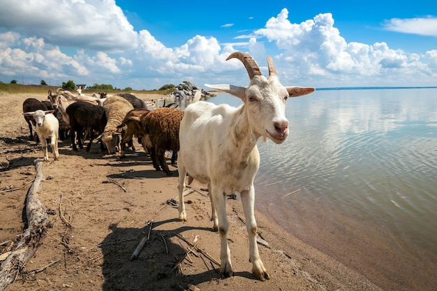 Zbliżenie białej kozy patrzy w kamerę, w tle stado owiec i kóz pije wodę z rzeki w ciepły letni dzień