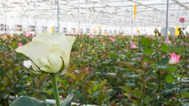 Zbliżenie białej róży na rozmytym tle kwiatów w szklarni