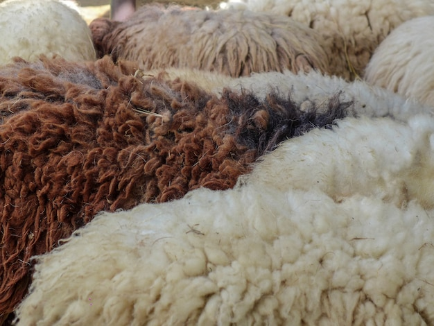 Zbliżenie biali i brown sheeps w gospodarstwie rolnym