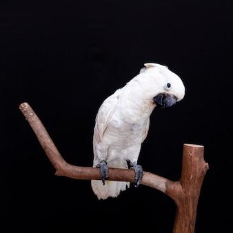 Zbliżenie biały kakadu z czarnym.