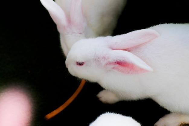 Zbliżenie: biały królik albinos z czerwonymi oczami.