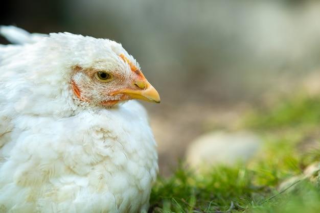 Zbliżenie biały kurczak siedzi na podwórku z zieloną trawą.