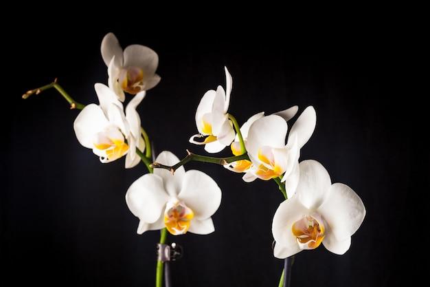 Zbliżenie białych kwiatów orchidei na czarnym tle