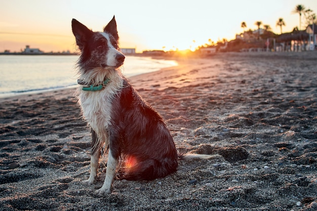 Zbliżenie border collie na plaży otoczonej morzem w słońcu