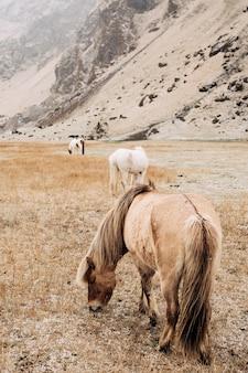 Zbliżenie brązowego konia pasącego się w polu na tle stada i ośnieżonych gór, które zrywa