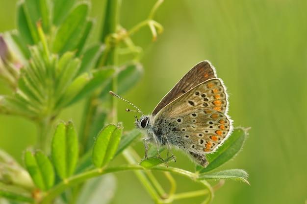Zbliżenie brązowego motyla argus (aricia agestis) z zamkniętymi skrzydłami na roślinie