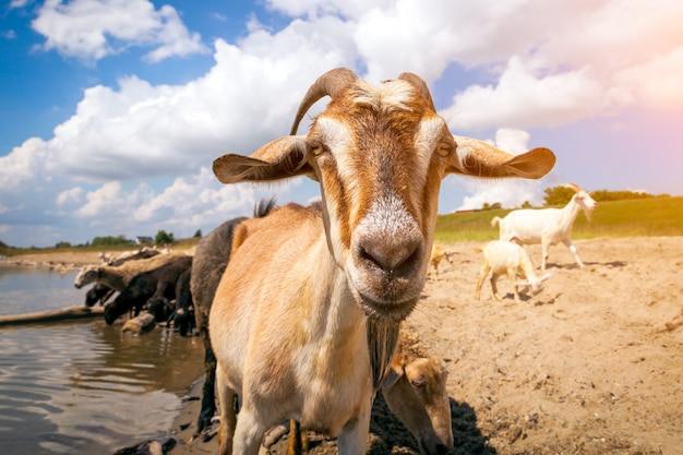 Zbliżenie brązowej kozy patrzy w kamerę, w tle stado owiec i kóz pije wodę z rzeki w ciepły letni dzień