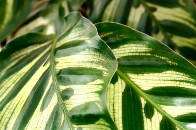 Zbliżenie calathea makoyana pozostawia tło