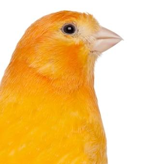 Zbliżenie: canary serinus canaria domestica na białym tle