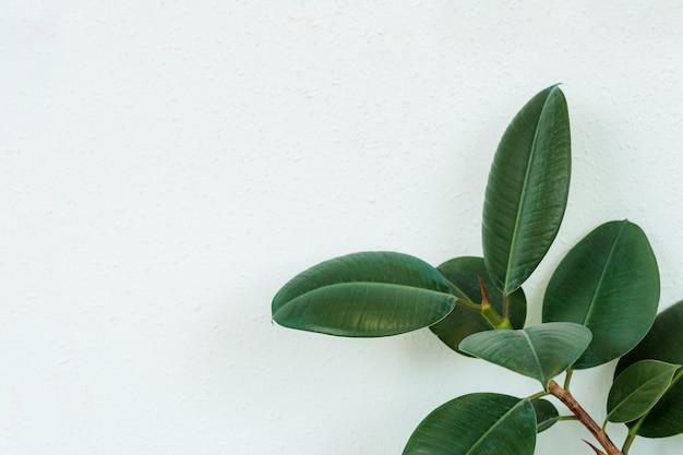 Zbliżenie ciemnozielone liście drzewo figowe roślina figowiec gatunek drzewa tropikalnego lasu deszczowego z miejsca na kopię