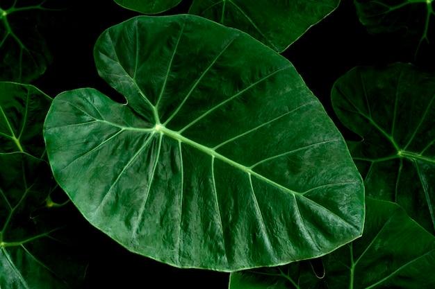 Zbliżenie ciemnozielonych liści liścia bon lub ucha słonia (colocasia esculenta (l.) schott). szczegóły liści w zbliżenie przyrody. widok z góry.