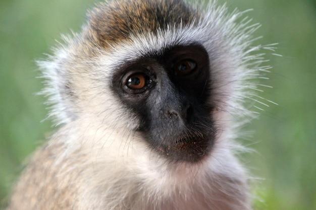 Zbliżenie cute małpy