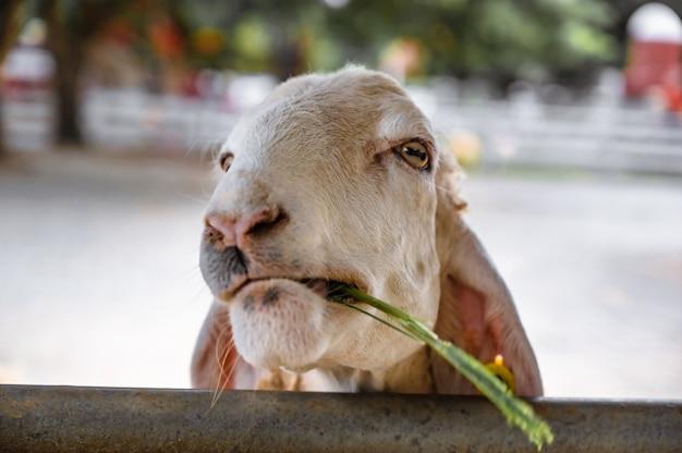 Zbliżenie cutiee biała owca twarz patrząc w kamerę na farmie w tajlandii