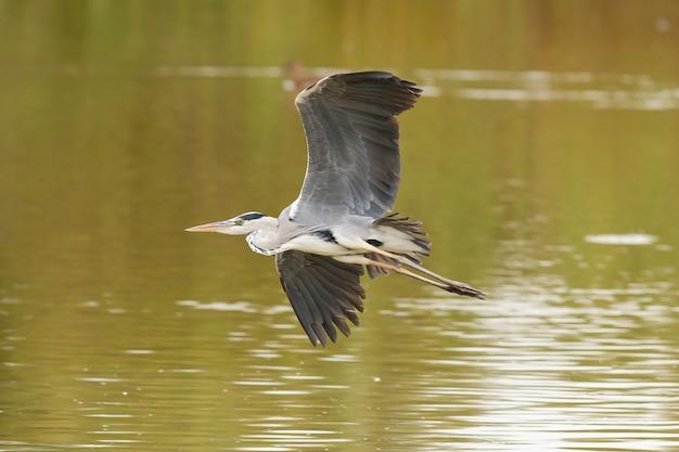 Zbliżenie czapla siwa, ardea cinerea, park narodowy donana, ptak na lagunie