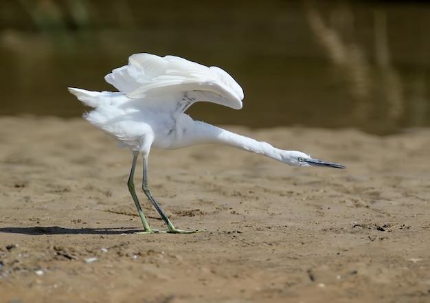 Zbliżenie czapli białej stojącej na piaszczystym brzegu z wyciągniętą szyją i otwartymi skrzydłami