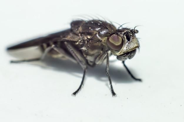 Zbliżenie czarny owad na białym tle