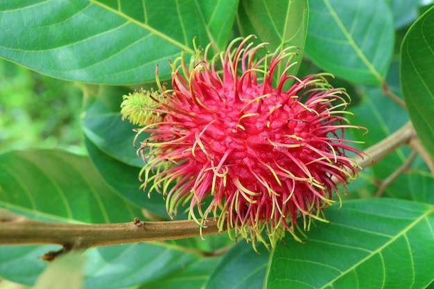 Zbliżenie czerwona dojrzała bliźniarki owoc na drzewie wśród zielonego ulistnienia