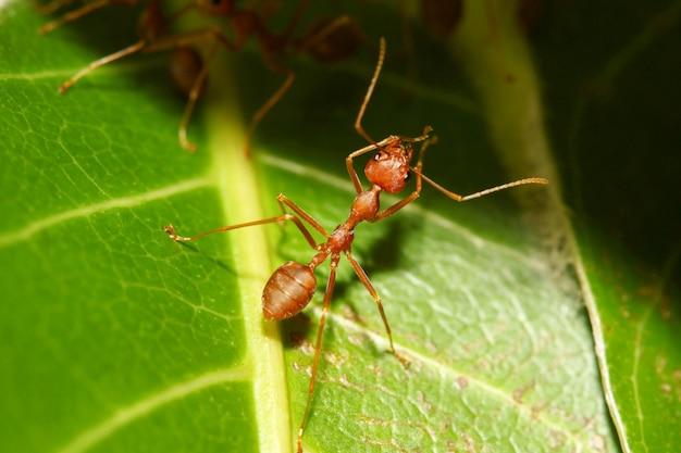 Zbliżenie: czerwona mrówka na zielonym liściu