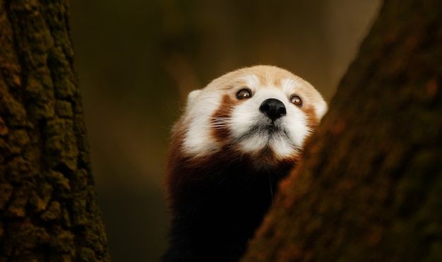 Zbliżenie czerwona panda wspinaczka na drzewo